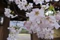 [桜][サクラ][山門][境内][雨]桜