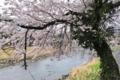 [桜][サクラ][碓氷川][川辺][川縁]桜