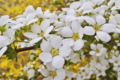 [ユキヤナギ][バラ科][雪柳][シモツケ属][白い花]ユキヤナギ