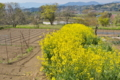 [菜の花畑][アブラナ科][畑地][耕作地][黄色い花]菜の花畑