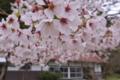 [桜][サクラ][さくら][山間][民家]桜