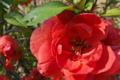 [ボケ][バラ科][木瓜][クサボケ][赤い花]ボケ