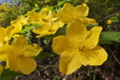 [ヤマブキ][バラ科][山吹][やまぶき色][黄色い花]ヤマブキ