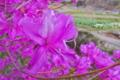[ミツバツツジ][ツツジ科][ツツジ][山里][ピンク色の花]ミツバツツジ