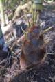 [タケノコ][筍][竹の子][竹林][モウソウチク]タケノコ