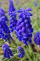 [ムスカリ][ブドウヒヤシンス][庭先][球根植物][青い花]ムスカリ