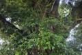 [スダジイ][ブナ科][大木][巨樹][常緑広葉樹]スダジイ
