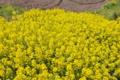 [ハルザキヤマガラシ][アブラナ科][外来種][菜の花][黄色い花]ハルザキヤマガラシ