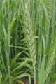 [麦畑][麦穂][青麦][麦][ムギ]麦畑