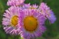 [ハルジオン][キク科][春紫苑][ヒメジョオン][ピンク色の花]ハルジオン
