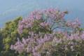 [キリ][ゴマノハグサ科][桐][木材][紫色の花]キリ