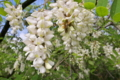[ハリエンジュ][マメ科][ニセアカシア][ハチミツ][白い花]ハリエンジュ