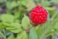 [クサイチゴ][バラ科][木イチゴ][野いちご][赤い実]クサイチゴ