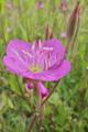 [ユウゲショウ][アカバナ科][夕化粧][畦道][ピンク色の花]ユウゲショウ