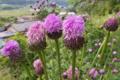 [キツネアザミ][キク科][アザミ][山里][ピンク色の花]キツネアザミ
