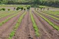 [コンニャク畑][こんにゃく畑][コンニャク][青麦][こしね]コンニャク畑