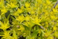 [ツルマンネングサ][ベンケイソウ科][道端][帰化植物][蔓万年草]ツルマンネングサ