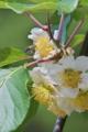 [キウイフルーツ畑][キウイ][マタタビ科][蜜蜂][白い花]キウイフルーツ畑