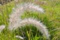 [チガヤ][イネ科][綿毛][原っぱ][草原]チガヤ