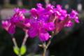 [ムシトリナデシコ][ナデシコ科][太鼓橋][ピンク色の花][妙義神社]ムシトリナデシコ