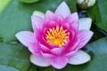 [睡蓮][スイレン][未の刻][ヒツジグサ][ピンク色の花]睡蓮