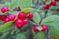 [ユスラウメ][バラ科][果実酒][庭木][赤い実]ユスラウメ