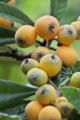 [ビワ][枇杷][びわ][バラ類][黄色い実]ビワ