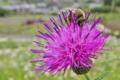 [ノアザミ][キク科][ミツバチ][薊][ピンク色の花]ノアザミ