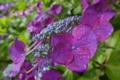[紫陽花][アジサイ][あじさい][梅雨][紫色の花]紫陽花