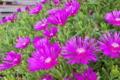[マツバギク][ツルナ科][松葉菊][多肉植物][ピンク色の花]マツバギク