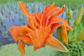 [ヤブカンゾウ][ユリ科][田んぼ][水田][オレンジ色の花]ヤブカンゾウ