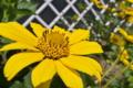 [キクイモモドキ][キク科][なまこ壁][キクイモ][黄色い花]キクイモモドキ