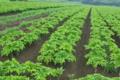[コンニャク畑][こんにゃく畑][蒟蒻畑][こしねの里][こしね]コンニャク畑
