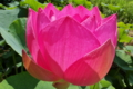 [ハス池][ハス][蓮池][蓮][ピンク色の花]ハス池