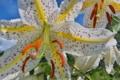 [ヤマユリ][ユリ科][山百合][ユリ][白い花]ヤマユリ