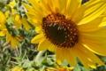 [ヒマワリ畑][ひまわり][向日葵][ヒマワリ][黄色い花]ヒマワリ畑