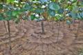 [キウイフルーツ畑][キウイ][キウイフルーツ][マタタビ科][ビタミンC]キウイフルーツ畑