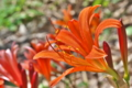 [キツネノカミソリ][ヒガンバナ科][多年草][ユリ科][赤い花]キツネノカミソリ
