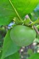 [柿][カキ][青柿][庭先][青い実]柿