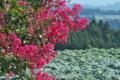 [サルスベリ][ミソハギ科][丘陵][コンニャク畑][ピンク色の花]サルスベリ