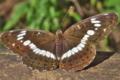 [イチモンジチョウ][タテハチョウ科][一文字蝶][登山道][茶色い蝶]イチモンジチョウ