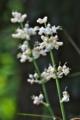 [ヤブミョウガ][ツユクサ科][多年草][ミョウガ][白い花]ヤブミョウガ