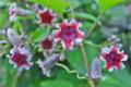 [ヘクソカズラ][アカネ科][ヤイトバナ][赤い花][白い花]ヘクソカズラ