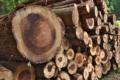 [伐採木][スギ][スギ林][杉][杉林]伐採木