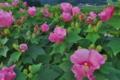 [フヨウ][アオイ科][芙蓉][一日花][ピンク色の花]フヨウ