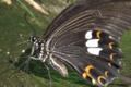 [モンキアゲハ][アゲハチョウ科][揚羽蝶][吸水][黒いチョウ]モンキアゲハ