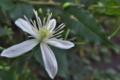 [センニンソウ][キンポウゲ科][仙人草][ボタンヅル][白い花]センニンソウ