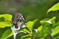 [アカボシゴマダラ][タテハチョウ科][ゴマダラチョウ][外来種]アカボシゴマダラ