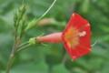[マルバルコウ][ヒルガオ科][サツマイモ属][ルコウソウ][赤い花]マルバルコウ