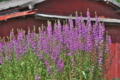 [ミソハギ][ミソハギ科][精霊花][赤紫の花][紫色の花]ミソハギ